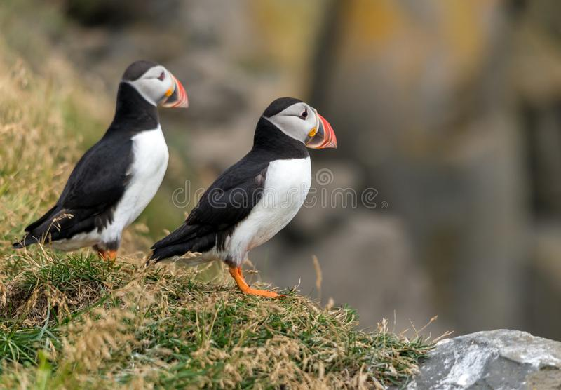 The Atlantic puffin, also known as the common puffin.  stock images