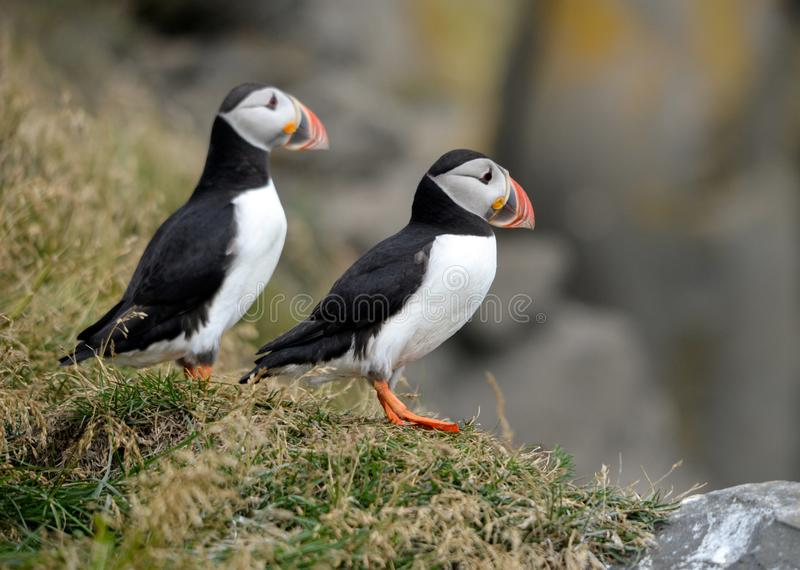The Atlantic puffin, also known as the common puffin. The Atlantic puffin, also known as the common puffin stock photography