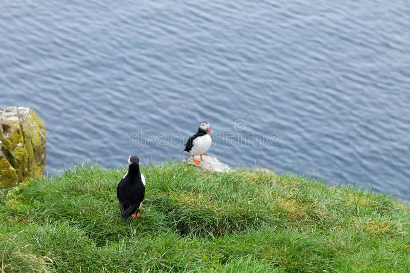 Atlantic puffin from Borgarfjordur fjord, east Iceland. Iceland wildlife. Common puffin. Fratercula arctica royalty free stock photos