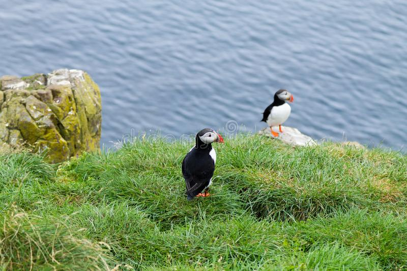 Atlantic puffin from Borgarfjordur fjord, east Iceland. Iceland wildlife. Common puffin. Fratercula arctica royalty free stock images