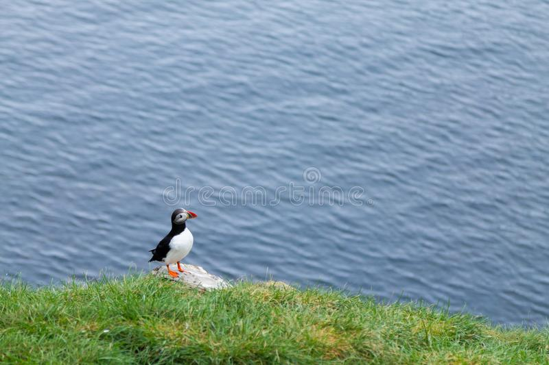Atlantic puffin from Borgarfjordur fjord, east Iceland. Iceland wildlife. Common puffin. Fratercula arctica stock photography
