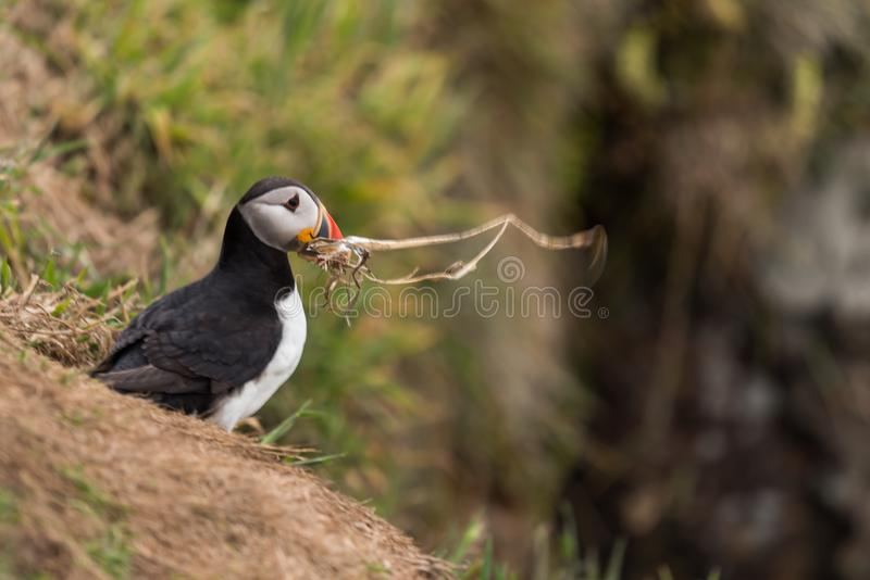 A puffin with a branch in its beak. A Atlantic puffin with a branch in its beak on Skomer island in Wales.UK building a nest stock image