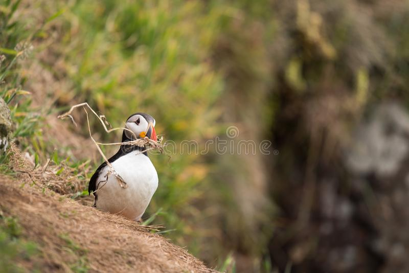 A puffin with a branch in its beak. A Atlantic puffin with a branch in its beak on Skomer island in Wales.UK building a nest royalty free stock photos