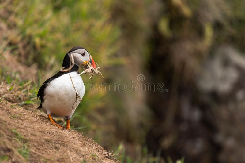 A puffin with a branch in its beak. A Atlantic puffin with a branch in its beak on Skomer island in Wales.UK building a nest stock images