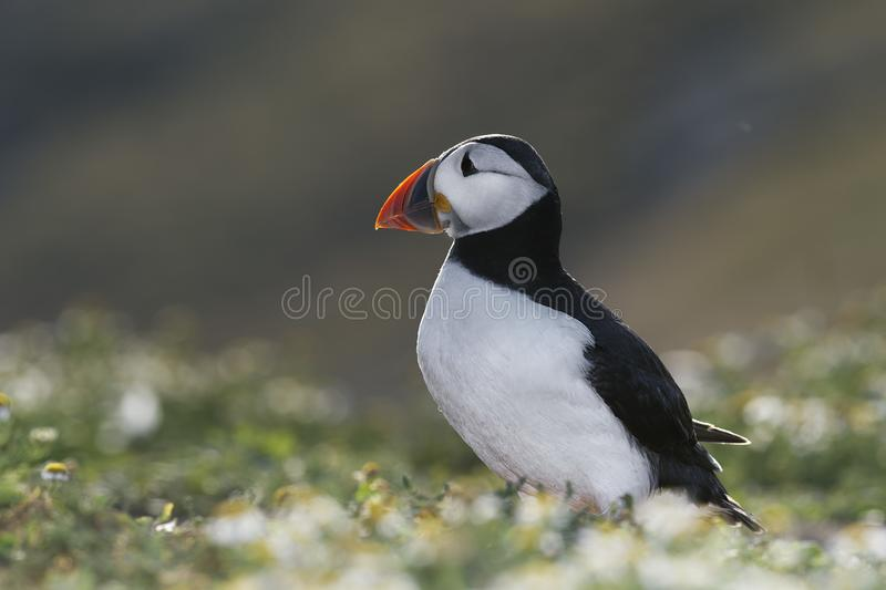 Atlantic Puffin on Skomer Island, Wales. Atlantic Puffin during the breading season on Skomer Island, Wales stock images