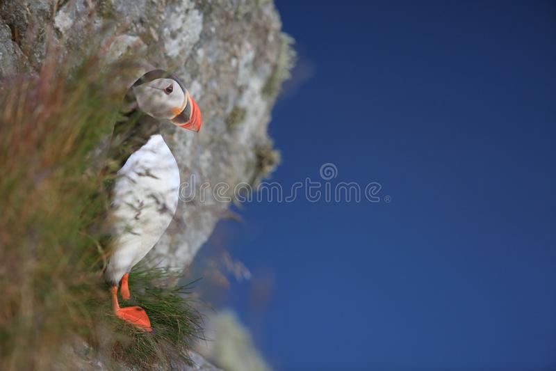 Atlantic Puffin or Common Puffin, Fratercula arctica,Runde, Norway. Atlantic Puffin or Common Puffin, Fratercula arctica, Norway royalty free stock image