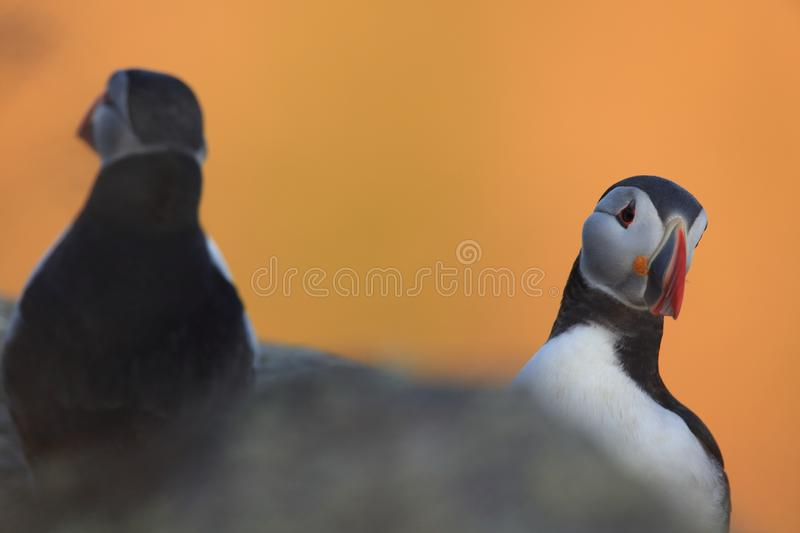 Atlantic Puffin or Common Puffin, Fratercula arctica,Runde, Norway. Atlantic Puffin or Common Puffin, Fratercula arctica, Norway stock photography