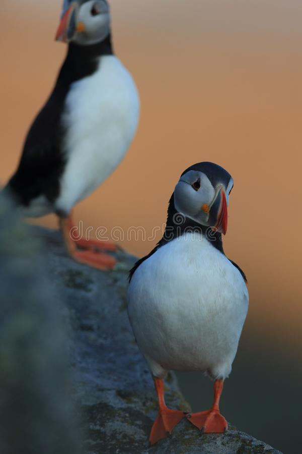 Atlantic Puffin or Common Puffin, Fratercula arctica,Runde, Norway. Atlantic Puffin or Common Puffin, Fratercula arctica, Norway royalty free stock photography