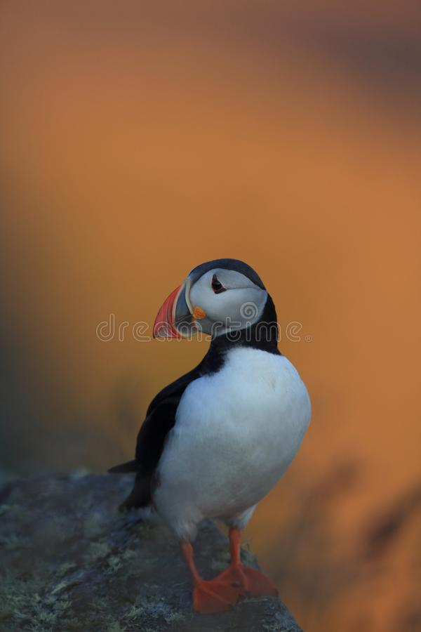 Atlantic Puffin or Common Puffin, Fratercula arctica,Runde, Norway. Atlantic Puffin or Common Puffin, Fratercula arctica, Norway royalty free stock images