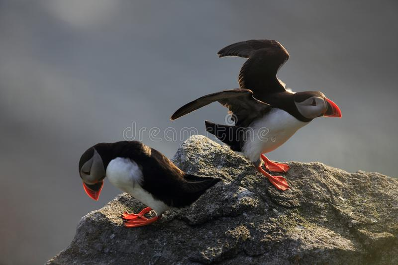 Atlantic Puffin or Common Puffin, Fratercula arctica,Runde, Norway. Atlantic Puffin or Common Puffin, Fratercula arctica, Norway royalty free stock photo