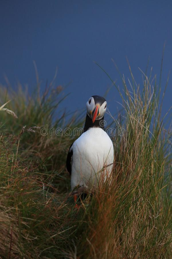 Atlantic Puffin or Common Puffin, Fratercula arctica,Runde, Norway. Atlantic Puffin or Common Puffin, Fratercula arctica, Norway stock images