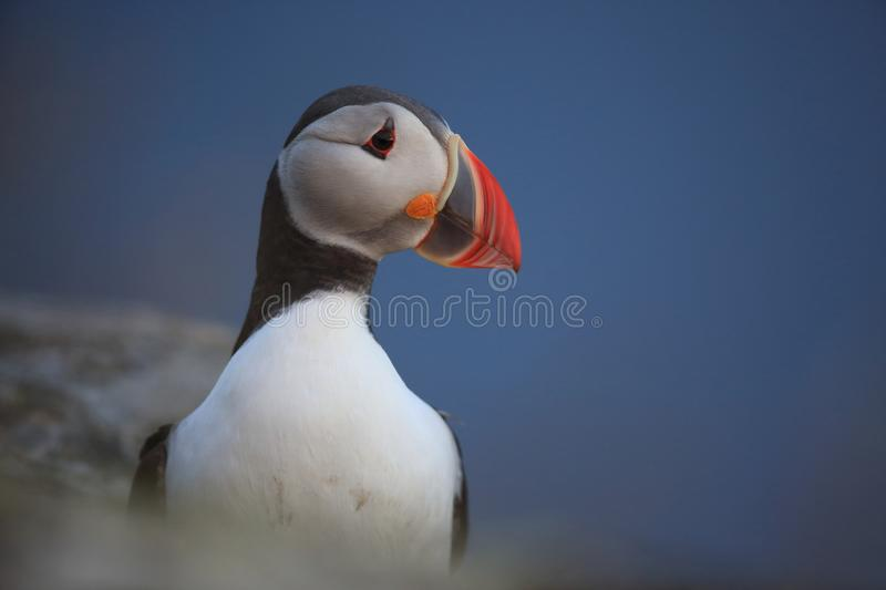 Atlantic Puffin or Common Puffin, Fratercula arctica,Runde, Norway. Atlantic Puffin or Common Puffin, Fratercula arctica, Norway stock photo