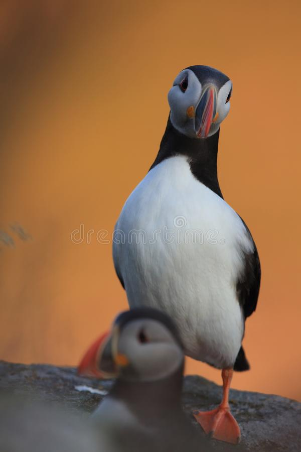 Atlantic Puffin or Common Puffin, Fratercula arctica,Runde, Norway. Atlantic Puffin or Common Puffin, Fratercula arctica, Norway stock image