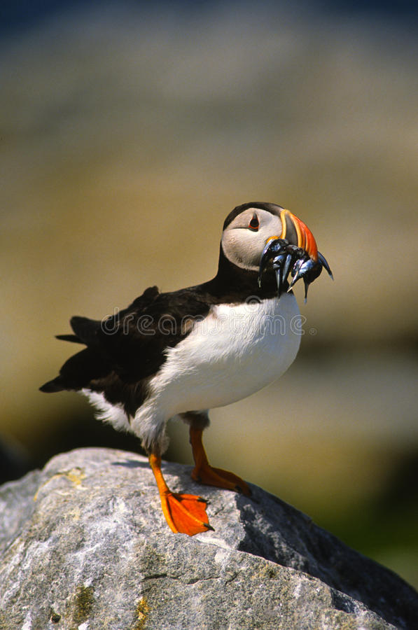 Atlantic Puffin with Fish. An atlantic puffin standing on a rock with a mouthful of fish stock image