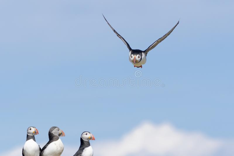 Atlantic Puffin in flight against blue sky. Atlantic puffin Fratercula arctica flying over colony, Farne Islands, Northumberland, England, UK stock photos