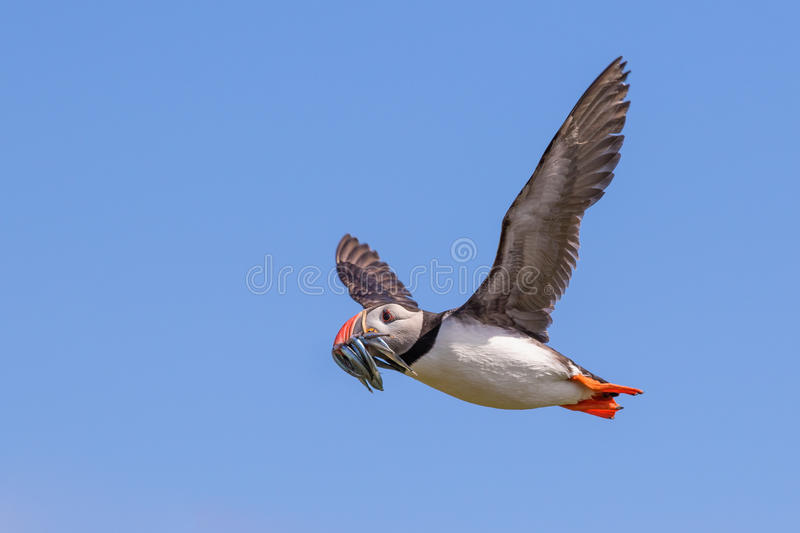 Atlantic puffin in flight stock image