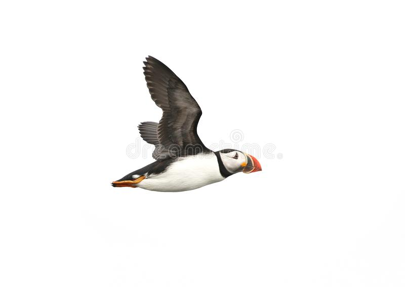 Atlantic Puffin in flight, white background isolated. The clown faced bird. Newfoundland, Canada stock image