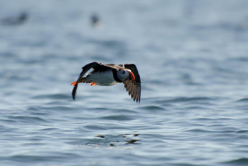 Atlantic Puffin flying royalty free stock photos