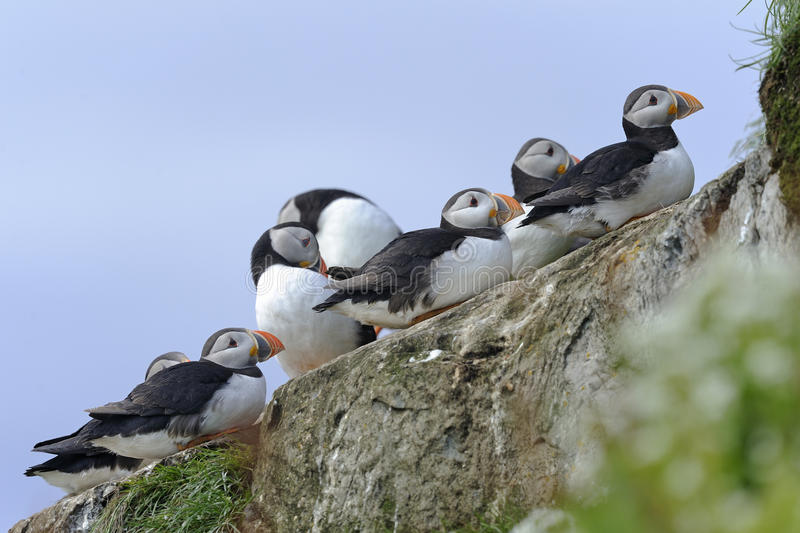 Atlantic puffin, fratercula arctica. Group resting on the rock royalty free stock image