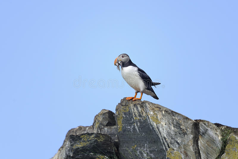 Atlantic puffin, fratercula arctica. Standing on the rock stock photography