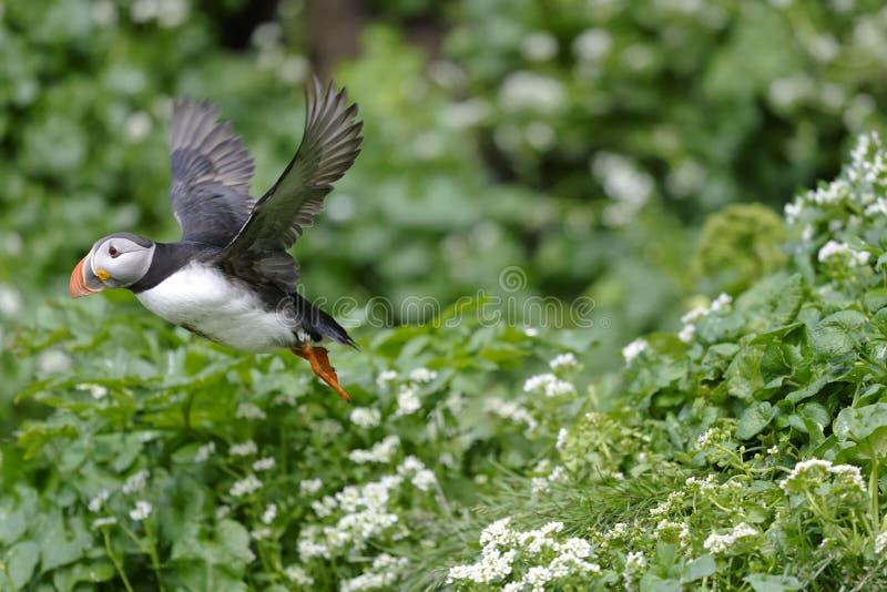 Atlantic puffin, fratercula arctica. Takeoff royalty free stock photos