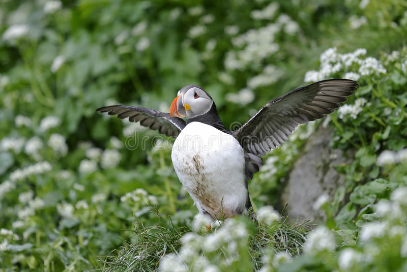 Atlantic puffin, fratercula arctica. Flexing stock photos