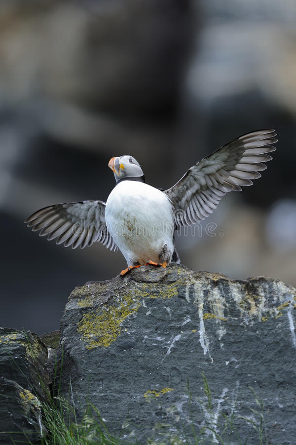 Atlantic puffin, fratercula arctica. Flexing royalty free stock images