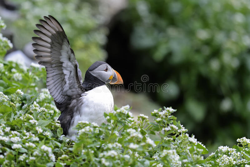 Atlantic puffin, fratercula arctica. Flexing wings stock photo