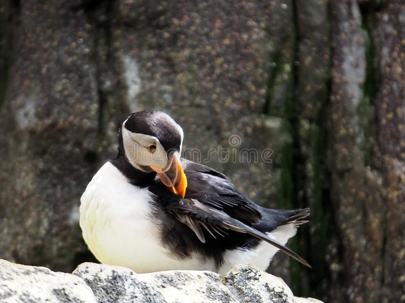 Atlantic Puffin Or Fratercula Arctica. Standing on rock at Lisbon Oceanarium Lisbon Portugal royalty free stock image