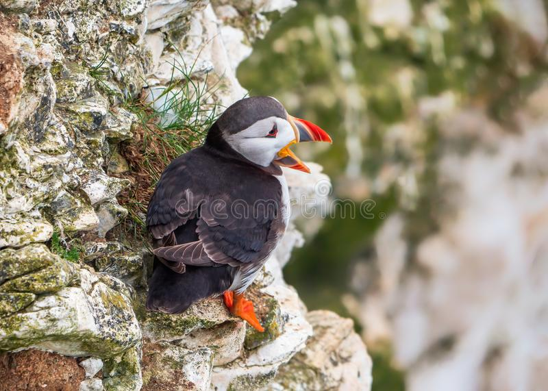 Atlantic Puffin - Fratercula arctica calling on Bempton Cliffs in Yorkshire, England. A cute Atlantic Puffins - Fratercula arctica in summer plumage calling on stock photo