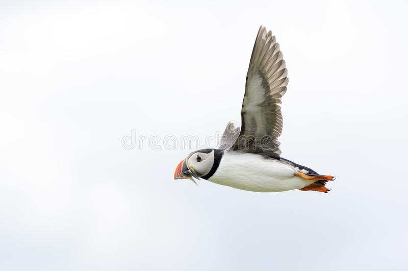 Atlantic puffin Fratercula arctica flying with caught fish. Farne Islands, Northumberland, England, UK stock photos