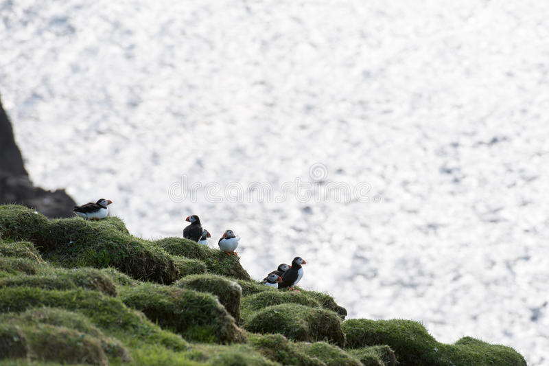 Atlantic puffin, Fratercula arctica. Atlantic puffins, Fratercula arctica sitting on a cliff on the Faroe Islands with ocean in the background royalty free stock images