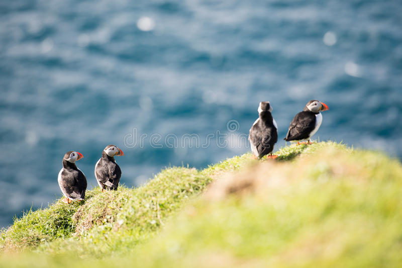 Atlantic puffin, Fratercula arctica. Atlantic puffins, Fratercula arctica sitting on a cliff on the Faroe Islands with ocean in the background stock photo