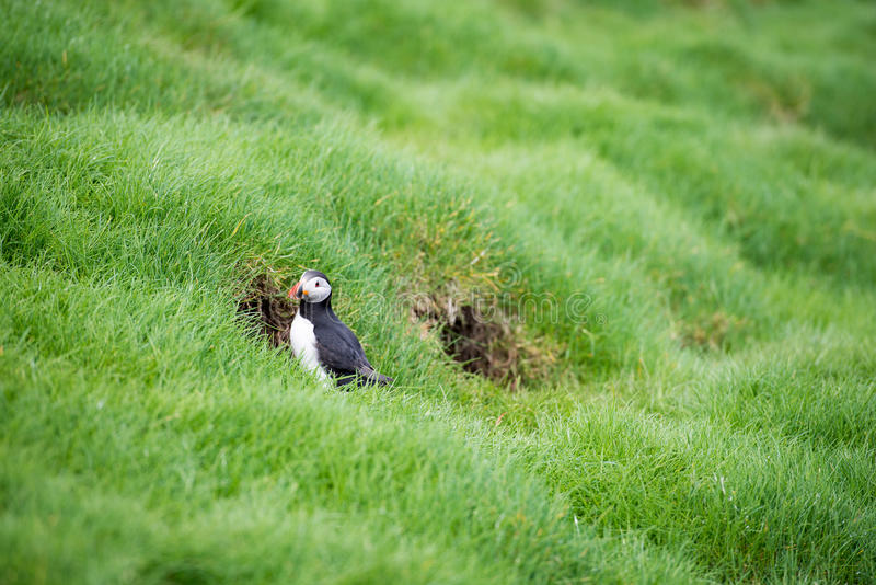 Atlantic puffin, Fratercula arctica stock images