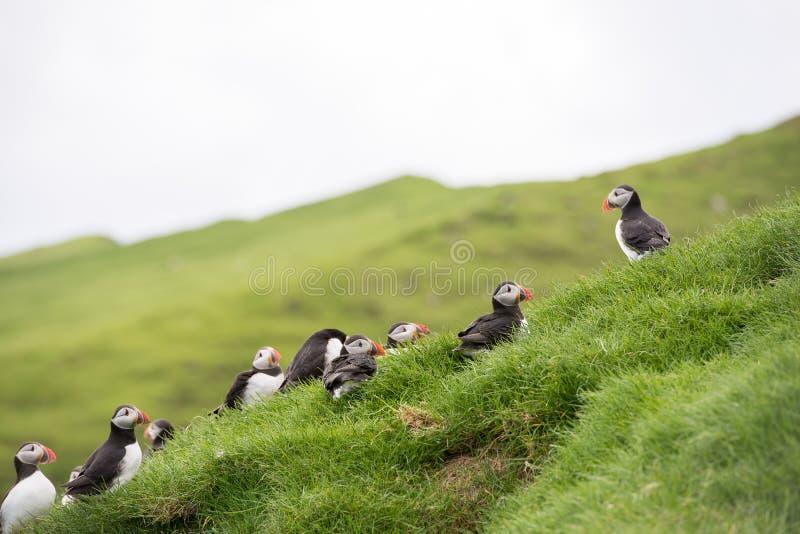 Atlantic puffin, Fratercula arctica. Atlantic puffins, Fratercula arctica sitting on grass on the Faroe Islands in front of its burrow royalty free stock photos