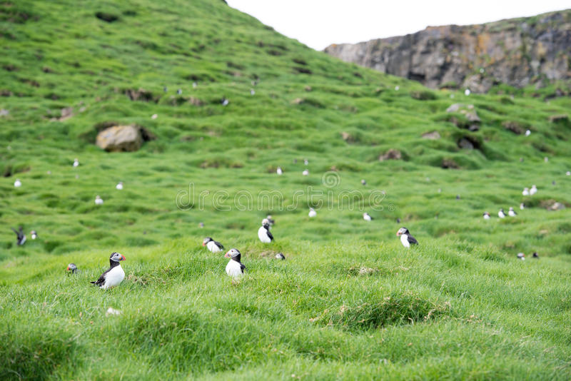 Atlantic puffin, Fratercula arctica. Atlantic puffins, Fratercula arctica sitting on grass on the Faroe Islands in front of its burrow stock photo