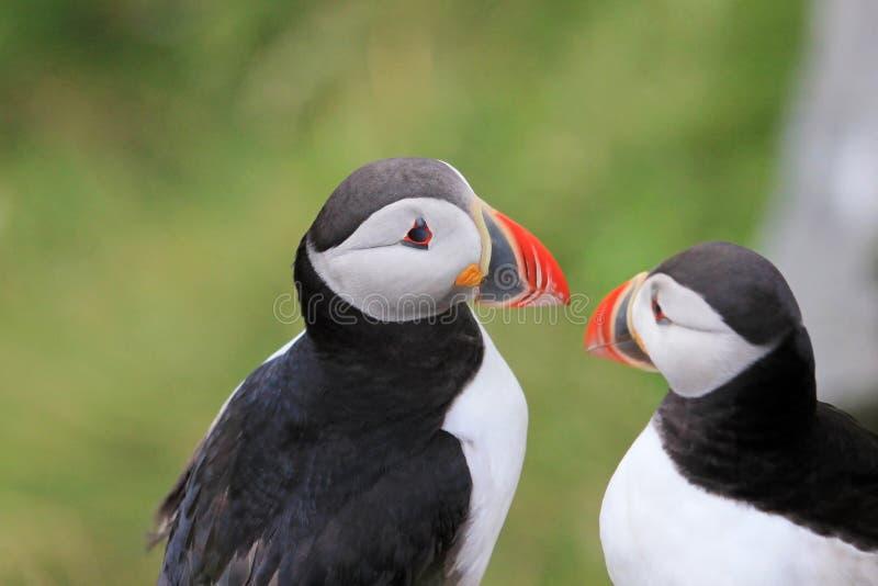 Atlantic Puffin, fratercula arctica, Runde Island, Norway royalty free stock photography