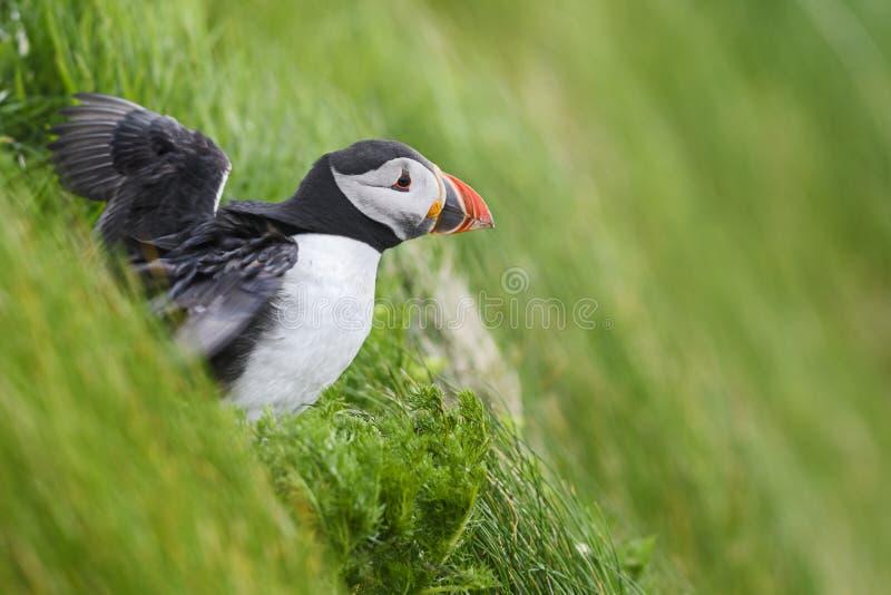 Atlantic Puffin - Fratercula arctica, Shetlands, United Kingdome stock photos