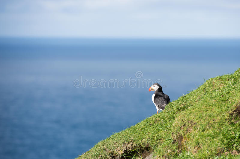 Atlantic puffin, Fratercula arctica. Sitting on a cliff on the Faroe Islands with ocean in the background royalty free stock image