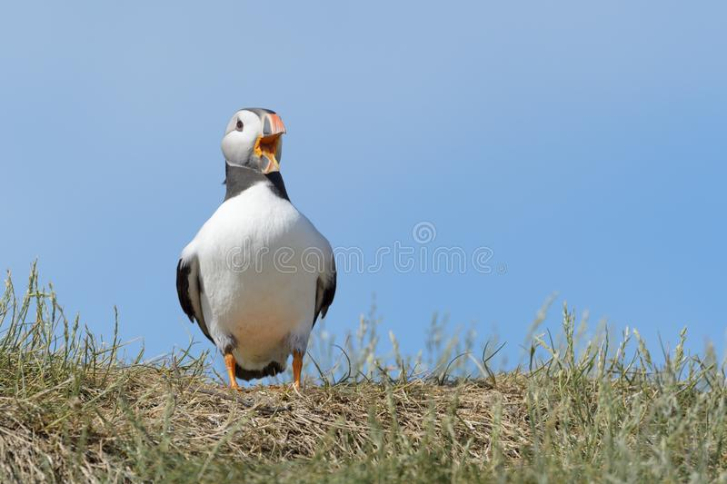 Atlantic puffin Fratercula arctica standing and screaming on cliff edge. Farne Islands, Northumberland, England, UK stock photo