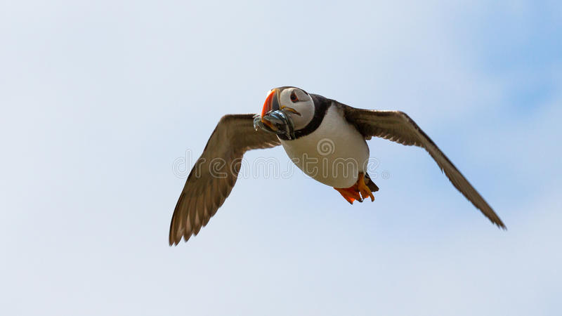 Atlantic Puffin. Fratercula arctica in the wilds of coastal Northern UK stock photo