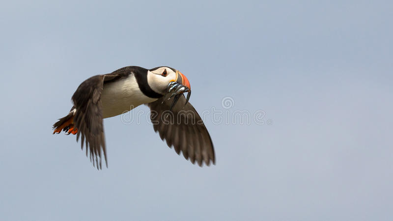 Atlantic Puffin. Fratercula arctica in the wilds of coastal Northern UK royalty free stock image