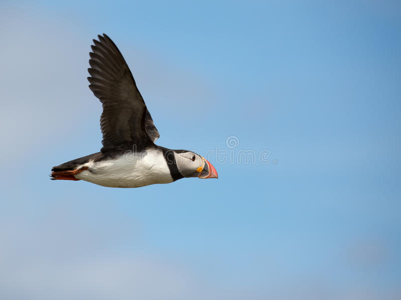 Atlantic Puffin. Fratercula arctica in the wilds of coastal Northern UK royalty free stock photography