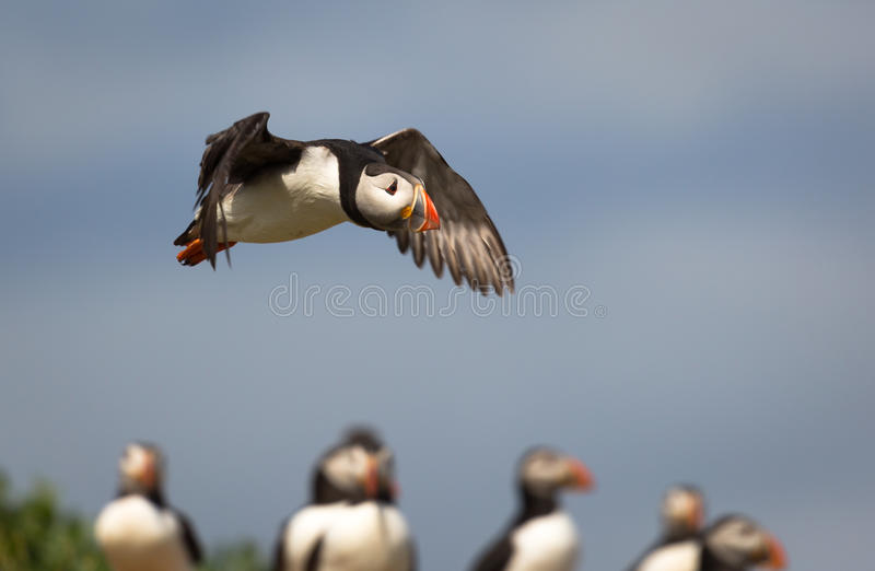 Atlantic Puffin. Fratercula arctica in the wilds of coastal Northern UK royalty free stock images