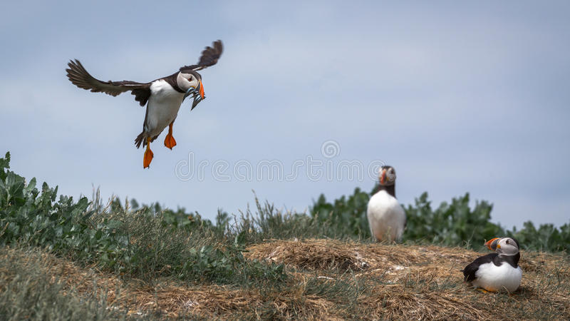Atlantic Puffin. Fratercula arctica in the wilds of coastal Northern UK stock image