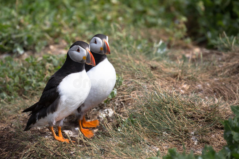 Atlantic Puffin. Fratercula arctica in the wilds of coastal Northern UK stock images