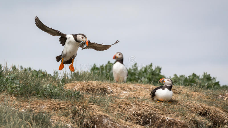 Atlantic Puffin. Fratercula arctica in the wilds of coastal Northern UK stock photography