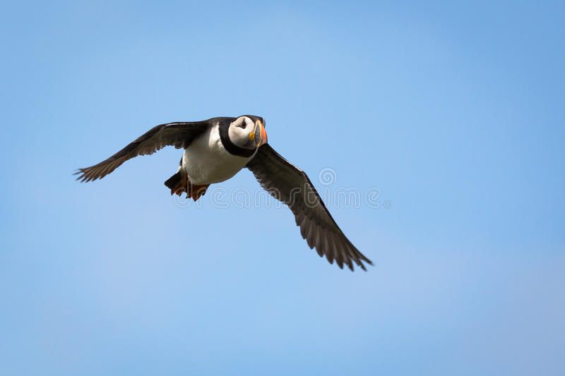Atlantic Puffin. Fratercula arctica in the wilds of coastal Northern UK royalty free stock photos