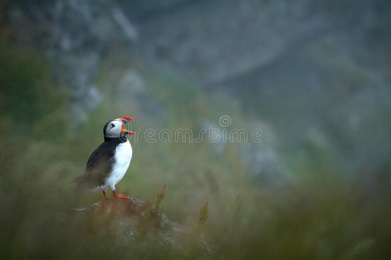 Atlantic puffin from Runde Norway stock images
