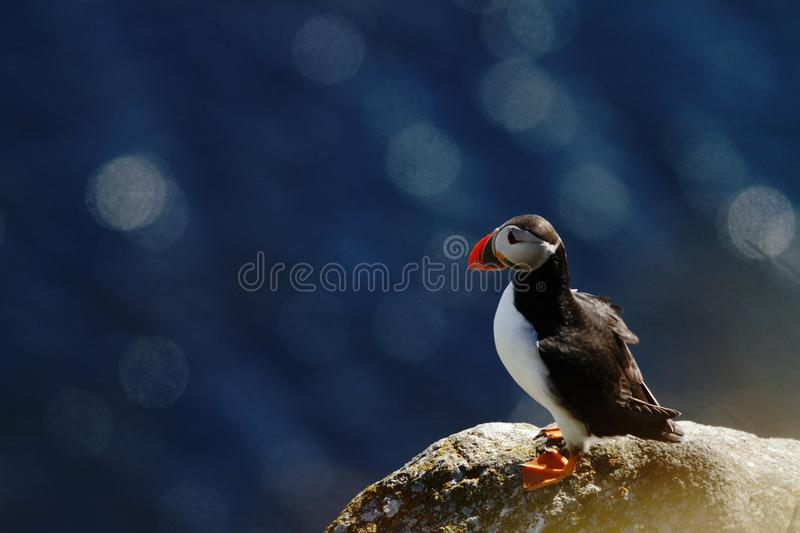 Atlantic Puffin sitting on cliff, bird in nesting colony, arctic black and white cute bird with colouful beak, bird on rock. Blue sea background, Runde, Norway stock photo